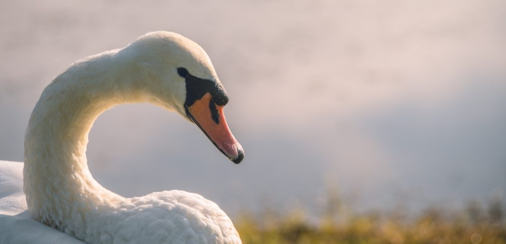 A swan sat on a bank