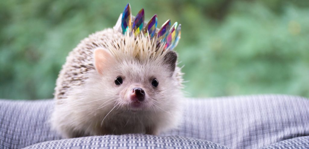 Hedgehog with a crown on
